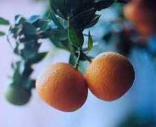 Mirtalapis apelsinas