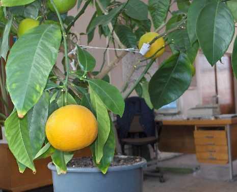 Apelsinas Gamlin