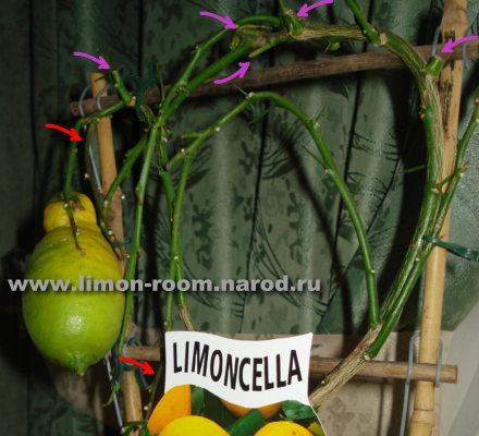 лимон limoncella
