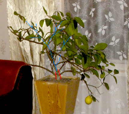 Как сформировать лимон в домашних условиях